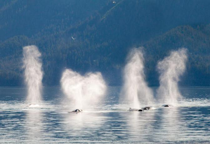 USA; Alaska; Cross Sound; Elfin Cove; Humpback Whales - Cedit as Don Paulson Photography