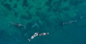 bowhead-whales