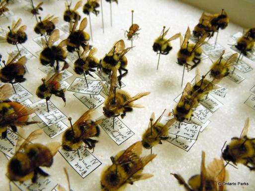 bee-specimens