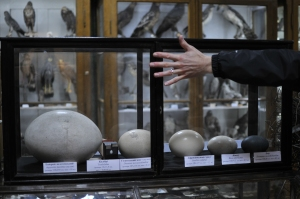 Giant Egg collection, Zoological Museum, Lviv