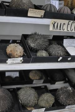 Sea Urchin Specimen, Zoological Museum, Lviv