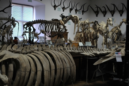 Skeletons, Zoological Museum, Lviv