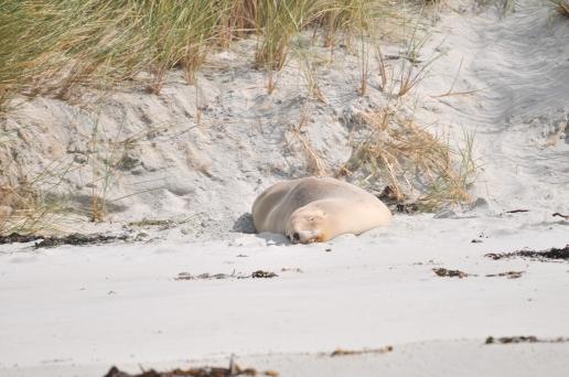 Hauled out sea lion