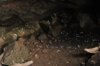 Penguin burrowa