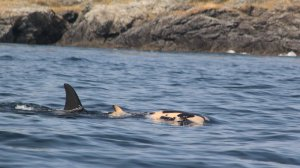 Southern Resident Killer Whale carrying her dead baby. Photo by Taylor Shedd