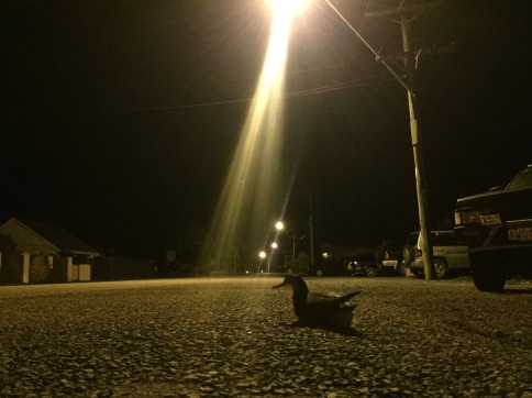 'Fallen' Hutton's shearwater on The Kaikoura Esplanade (photo credit: Chloe Cargill)