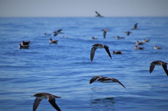 Hutton's Shearwater at sea (photo credit: Chloe Cargill)