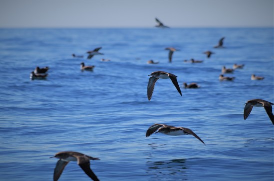 Hutton's Shearwater at sea (photo credit: Chloe Cargill)