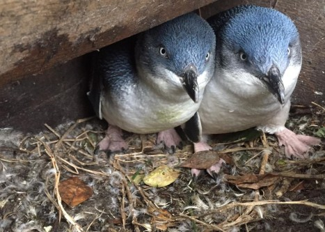 Little blue penguins (photo credit: Chloe Cargill)