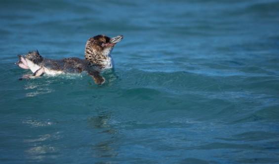 Little penguin (photo credit: Chloe Cargill)