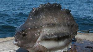 Lumpfish, image from icefishnews.com