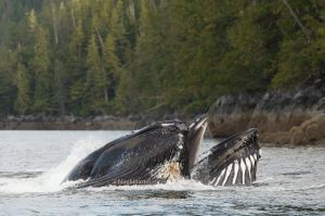 Humpback whales bubble-net feeding in British Columbia, Canada. Photo credit Leticiaà Legat