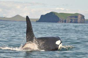 Killer whale off Vestmannaeyjar, Iceland. Photo credit Leticiaà Legat